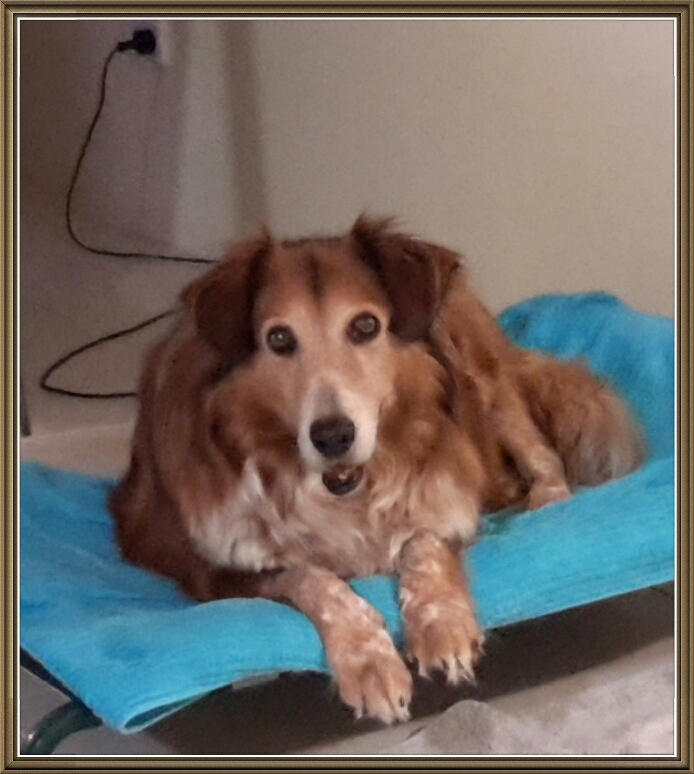 goldie-aged-12-years