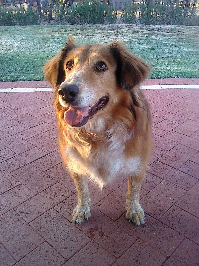 goldie-aged-8-years